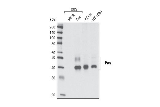 Western blot analysis of extracts from COS cells, mock transfected or transfected with human Fas, and from ACHN and HT-1080 cell lines using Fas (C18C12) Rabbit mAb.