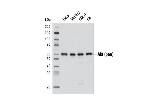 Western blot analysis of extracts from various cell lines using Akt (pan) (C67E7) Rabbit mAb (HRP Conjugate).