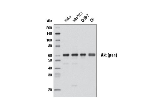 Western blot analysis of extracts from various cell lines using Akt (pan) (C67E7) Rabbit mAb (Biotinylated).