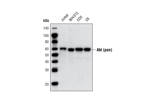 Western blot analysis of extracts from various cell lines using Akt (pan) (40D4) Mouse mAb (Biotinylated).