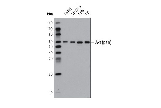 Western blot analysis of extracts from various cell lines using Akt (pan) (40D4) Mouse mAb (HRP Conjugate).