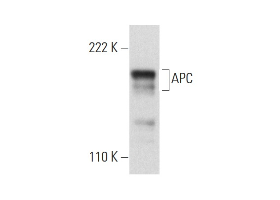 APC (A-3): sc-393704. Western blot analysis of APC expression in COLO 205 whole cell lysate.