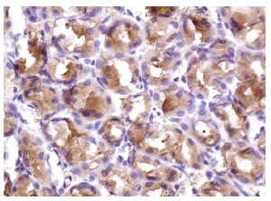 APC (H-290): sc-7930. Immunoperoxidase staining of formalin fixed, paraffin-embedded human stomach tissue showing cytoplasmic staining of glandular cells.