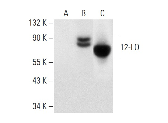 12-LO (C-5): sc-365194. Western blot analysis of 12-LO expression in non-transfected 293T: sc-117752 (A), mouse 12-LO transfected 293T: sc-178202 (B) whole cell lysates and human platelet extract (C).
