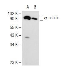 α-actinin (B-12): sc-166524. Western blot analysis of α-actinin expression in L8 (A) and HeLa (B) whole cell lysates.
