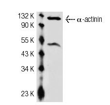 α-actinin-4 (K-14): sc-49332. Western blot analysis of α-actinin-4 expression in NIH/3T3 whole cell lysate.