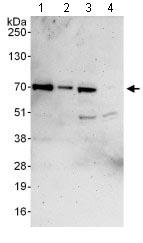 All lanes : Anti-Atherin antibody (ab128170) at 0.1 µg/mlLane 1 : HeLa whole cell lysate at 50 µgLane 2 : HeLa whole cell lysate at 15 µgLane 3 : 293T whole cell lysate at 50 µgLane 4 : Jurkat whole cell lysate at 50 µgdeveloped using the ECL technique