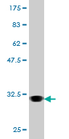 Anti- AVPR1A antibody (ab54799) at 5 µg/ml + Recombinant tagged AVPR1A fragment at 0.2 µgSecondaryGoat Anti-Mouse IgG (H&L)-HRP Conjugate at 1/5000 dilution