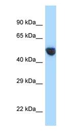 Anti- AVPR1A antibody (ab123032) at 1 µg/ml + 293T cell lysate at 10 µgSecondaryGoat anti-Rabbit IgG HRP