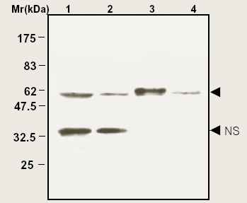 Western Blot analysis of cell lysates.Lane 1: HeLa cell lysatesLane 2: Jurkat cell lysatesLane 3: Mouse brainLane 4: Rat brainThe band marked with NS is probably non-specific.