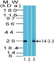 All lanes : Anti-14-3-3 theta antibody (ab168855) at 2 µg/mlLane 1 : Human brain tissue lysateLane 2 : Human brain tissue lysate in the presence of immunizing peptideLane 3 : A375 cell lysate