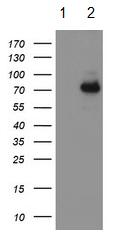 All lanes : Anti-15 Lipoxygenase 1 antibody [3G8] (ab119774) at 1/500 dilutionLane 1 : HEK293T cells transfected with pCMV6-ENTRY control Lane 2 : HEK293T cells transfected with pCMV6-ENTRY 15 Lipoxygenase 1 cDNALysates/proteins at 5 µg per lane.
