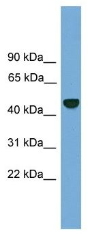 Anti-26S Proteasome regulatory subunit p55 antibody (ab104740) at 1 µg/ml + HCT15 cell lysate at 10 µg