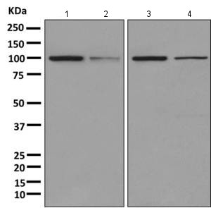 All lanes : Anti-AlaRS antibody [EPR11036(B)] (ab166915) at 1/10000 dilutionLane 1 : HeLa cell lysateLane 2 : Human fetal liver tissue lysateLane 3 : K562 cell lysateLane 4 : HepG2 cell lysateLysates/proteins at 10 µg per lane.
