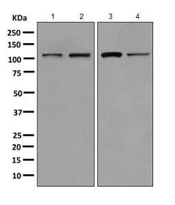All lanes : Anti-AlaRS antibody [EPR11037(B)] (ab155275) at 1/1000 dilutionLane 1 : Human fetal liver lysateLane 2 : HeLa lysateLane 3 : K562 lysateLane 4 : HepG2 lysateLysates/proteins at 10 µg per lane.