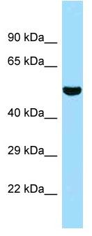 Anti-5033411D12Rik antibody (ab128670) at 1 µg/ml + Mouse thymus lysate at 10 µgSecondaryGoat anti-Rabbit IgG HRP
