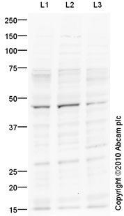 All lanes : Anti-5HT4 Receptor antibody (ab87337) at 2 µg/mlLane 1 : Caco 2 (Human colonic carcinoma cell line) Whole Cell Lysate Lane 2 : SW480 (Human colon adenocarcinoma cell line) Whole Cell Lysate Lane 3 : HeLa (Human epithelial carcinoma cell line) Whole Cell Lysate Lysates/proteins at 10 µg per lane.SecondaryGoat polyclonal Secondary Antibody to Rabbit IgG - H&L (HRP), pre-adsorbed at 1/5000 dilutiondeveloped using the ECL techniquePerformed under reducing conditions.