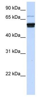 Anti- ZNF93 antibody (ab105654) at 1 µg/ml + 721_B cell lysate at 10 µg