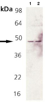 All lanes : Anti-Fas antibody (ab82419) at 1/1000 dilutionLane 1 : Rat brain tissue extractLane 2 : Mouse brain tissue extractdeveloped using the ECL technique