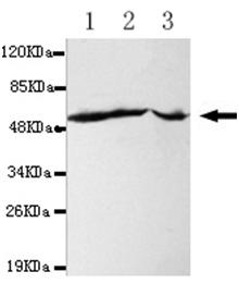 All lanes : Anti-Fas antibody [4C3-G7-B7-H5] (ab106062) at 1/1000 dilutionLane 1 : HepG2 whole cell lysateLane 2 : A431 whole cell lysateLane 3 : Jurkat whole cell lysateLysates/proteins at 40 µg per lane.