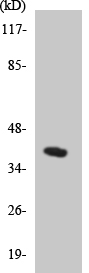 Anti-Cyclin H antibody (ab136027) at 1/500 dilution + HepG2 cell lysate at 30 µg
