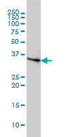Anti-Cyclin H antibody [1B8] (ab124409) at 1/500 dilution + HeLa cell lysate