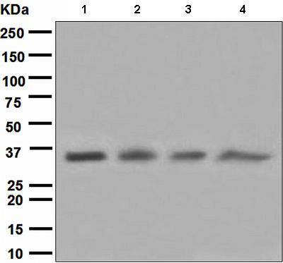 All lanes : Anti-Cyclin H antibody [EPR3928] (ab111933) at 1/1000 dilutionLane 1 : Jurkat cell lysateLane 2 : A431 cell lsyateLane 3 : K562 cell lysateLane 4 : HeLa cell lysateLysates/proteins at 10 µg per lane.