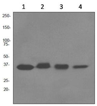 All lanes : Anti-Cyclin H antibody [EPR3929] (ab92376)Lane 1 : Jurkat cell lysateLane 2 : A431 cell lysateLane 3 : K562 cell lysateLane 4 : HeLa cell lysateLysates/proteins at 10 µg per lane.SecondaryHRP labelled goat anti-rabbit at 1/2000 dilution