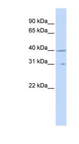 CCNH / Cyclin H antibody LS-C102865 Western blot of MCF7 cell lysate.