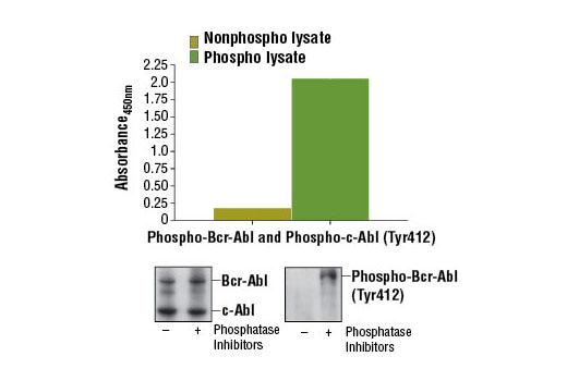 Figure 1. Constitutive phosphorylation of Bcr-Abl and c-Abl in K-562 cells lysed in the presence of phosphatase inhibitors* (phospho lysate) is detected by PathScan ® Phospho-c-Abl (Tyr412) Sandwich ELISA Kit #12070. In contrast, a low level of phospho-Bcr-Abl and phospho-c-Abl protein is detected in K-562 cells lysed in the absence of phosphatase inhibitors* (nonphospho lysate). Absorbance at 450 nm is shown in the top figure while corresponding western blots using c-Abl Antibody #2862 (left panel) and Phospho-c-Abl (Tyr412) (247C7) Rabbit mAb #2865 (right panel) are shown in the bottom figure. *Phosphatase inhibitors include sodium pyrophosphate, β-glycerophosphate, and Na 3 VO 4 .