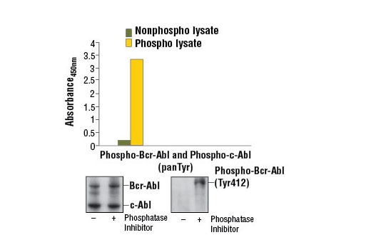 Figure 1. Constitutive phosphorylation of Bcr-Abl and c-Abl in K-562 cells lysed in the presence of phosphatase inhibitors* (phospho lysate) is detected by PathScan ® Phospho-c-Abl (panTyr) Sandwich ELISA Kit #7903. In contrast, a low level of phospho-Bcr-Abl and phospho-c-Abl protein is detected in K-562 cells lysed in the absence of phosphatase inhibitors* (nonphospho lysate). Absorbance at 450 nm is shown in the top figure while corresponding western blots using c-Abl Antibody #2862 (left) and Phospho-c-Abl (Tyr412) (247C7) Rabbit mAb #2865 (right) are shown in the bottom figure. *Phosphatase inhibitors include sodium pyrophosphate, β-glycerophosphate, and Na 3 VO 4 .