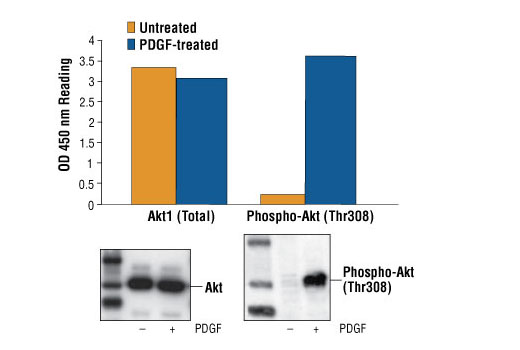 Figure 1: Treatment of NIH/3T3 cells with PDGF stimulates phosphorylation of Akt at Thr308, detected by PathScan® Phospho-Akt (Thr308) Sandwich ELISA Kit #7252, but does not affect the level of total Akt detected by PathScan® Total Akt1 Sandwich ELISA Kit #7170. OD 450 nm readings are shown in the top figure, while the corresponding Western blots using Phospho-Akt (Thr308) Antibody #9275 (right panel) or Akt Antibody #9272 (left panel), are shown in the bottom figure.