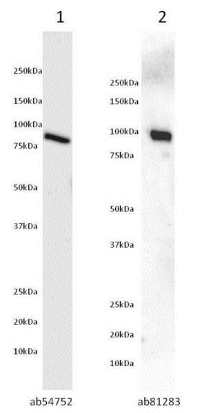 Primary Antibodies: Lane 1: Anti Akt-1 antibody ( ab54752 ) at 5?g/mL dilution. Lane 2: Anti Akt-1 antibody ( ab81283 ) at 1/5000 dilution. Sample: Akt-1 recombinant protein (Tagged)(ab62279) ? 50ng. Secondary Antibody: Lane 1: Goat polyclonal to Mouse IgG ? H&L ? Pre-Adsorbed (HRP) at 1:5000 developed using the ECL technique. Lane 2: Goat polyclonal to Rabbit IgG ? H&L - Pre-Adsorbed (HRP) at 1:5000 developed using the ECL technique. Performed under reducing conditions. Predicted band size : 80kDa. Observed band size : 80kDa. Blocking step: 5% Milk in 50mM TBS+0.05% Tween for 1 hour at RT. Primary antibody buffer: 5% BSA in 50mM TBS+0.05% Tween overnight at 4?C. Secondary antibody buffer: 10% blocking ab126587 in water for 2 hours at RT. Exposure time : 5 minutes