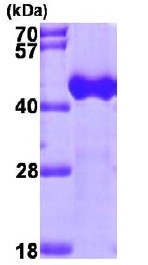 15% SDS-PAGE analysis of 3µg ab98236
