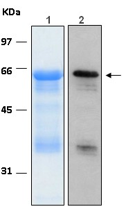 10% SDS-PAGE stained with Coomassie Blue (Lane 1), immunobloting with anti-6xHis (Lane 2)