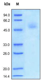 SDS PAGE analysis of reduced ab155635 stained overnight with Coomassie Blue.