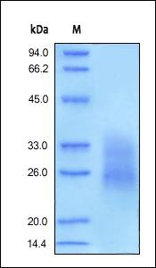 SDS-PAGE analysis of reduced ab155701 stained overnight with Coomassie Blue.
