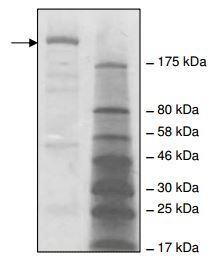 4-20% SDS-PAGE analysis of 2 µg ab196428 with Coomassie staining.