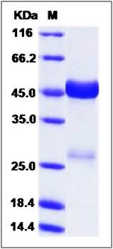 SDS-PAGE analysis of Cynomolgus (His Tag) protein