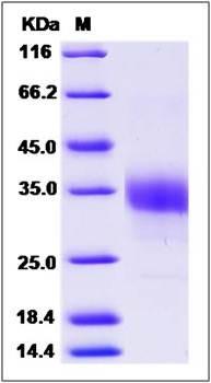 SDS-PAGE analysis of Cynomolgus ACVR2B, protein