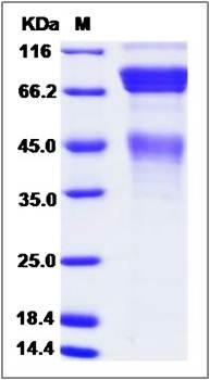 SDS-PAGE analysis of Cynomolgus protein