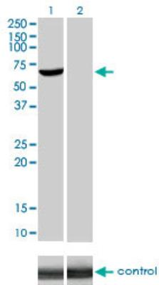 Western Blot: Akt1 RNAi [H00000207-R02V] - Analysis of AKT1 over-expressed 293 cell line. Lane 2 cotransfected with AKT1 Validated Chimera RNAi Lane 1 non-transfected control. Blot probed with H00000207-M01. GAPDH ( 36.1 kDa ) used as loading control.