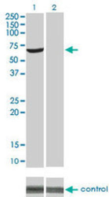 Western blot analysis of AKT1 over-expressed 293 cell line. Lane 2 cotransfected with AKT1 Validated Chimera RNAi Lane 1 non-transfected control. Blot probed with H00000207-M01. GAPDH ( 36.1 kDa ) used as loading control.