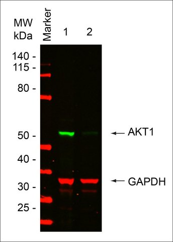 <B>Immunoblotting</B><BR/>AKT1: <B>Cat. No. EHU083501</B>: Western blot analysis of AKT1 in HeLa cells.<BR/><B>Lanes</B><BR/>1. HeLa cells transfected with Renilla Luciferase esiRNA (RLUC, <B>Cat. No. EHURLUC</B>) as negative control.<BR/>2. HeLa cells transfected with AKT1 esiRNA (<B>Cat. No. EHU083501</B>). Quantitative-Immunoblotting: Lysates were separated on SDS-Page and probed with mouse Monoclonal Anti-Protein Kinase Bα (1:5000) Clone: PKB-175 (<B>Cat. No. P2482</B>) and goat Anti-GAPDH (1:7000) (Acris) antibodies. The signal intensities of indicated bands were quantified using an Odyssey infrared imaging system (Li-COR) and normalized to the GAPDH signal. At 72h post transfection, an 88% AKT1 protein reduction was measured between the negative control RLUC and the sample treated with AKT1 esiRNA.